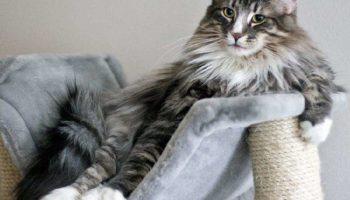 ТОП-10 найбільших домашніх кішок, в обіймах яких можна тонути вічно