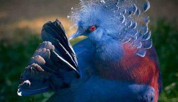 Цей птах із синім чубчиком довів, що голуби можуть виглядати не менш вражаюче павичів