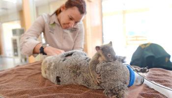 6-місячна коала ні на мить не відходила від мами під час операції