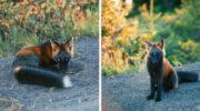 Фотографу вдалося завоювати довіру лисиці, і ця красуня дозволила йому зробити приголомшливі світлини!
