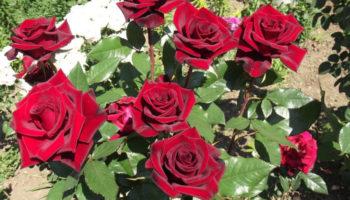 Чим підживити троянди навесні, щоб вони пишно цвіли все літо
