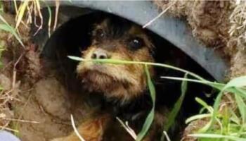 Собака з сумним і благальним поглядом визирав з труби, але не міг поворухнутися