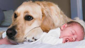 Дуже мила дружба: золотистий ретривер з народження виховує немовля