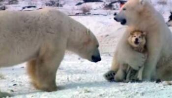 Полярні ведмеді грають з собаками
