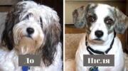 16 собак, які так змінилися після стрижки, що власники не одразу впізнали своїх улюбленців